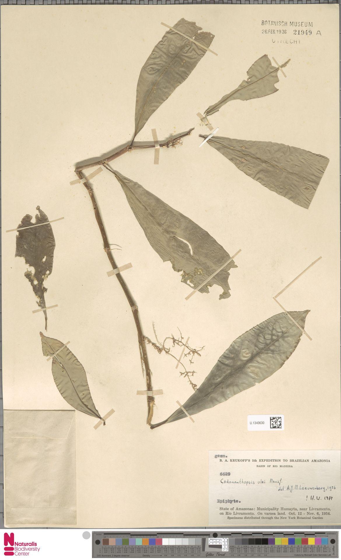 U.1340630 | Codonanthopsis ulei Mansf.