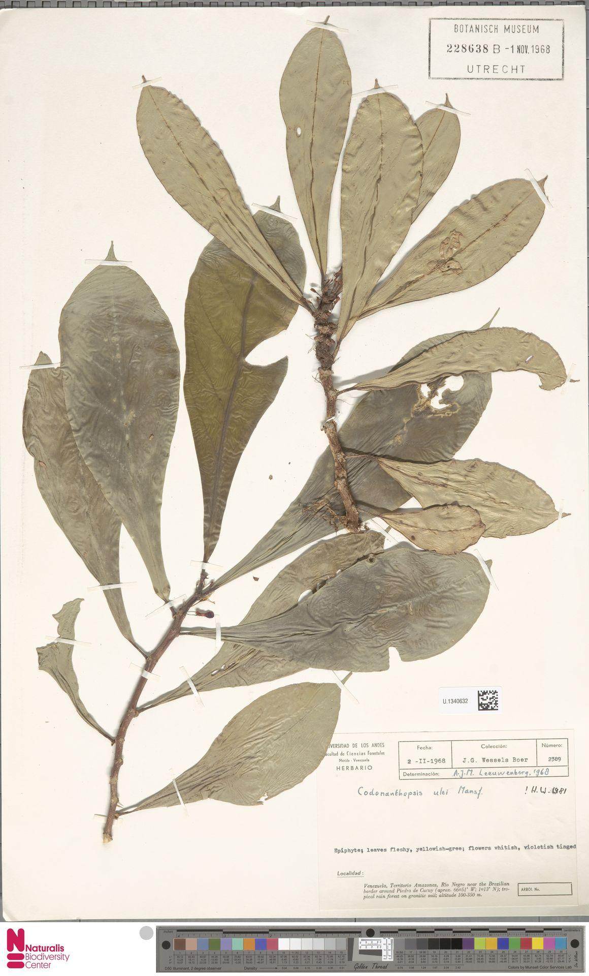 U.1340632 | Codonanthopsis ulei Mansf.