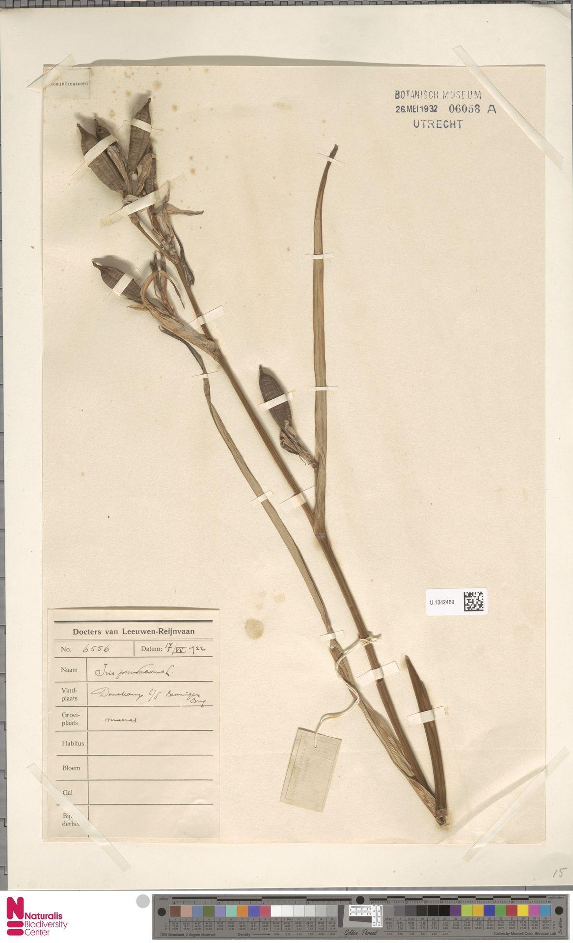 U.1342469 | Iris pseudacorus L.