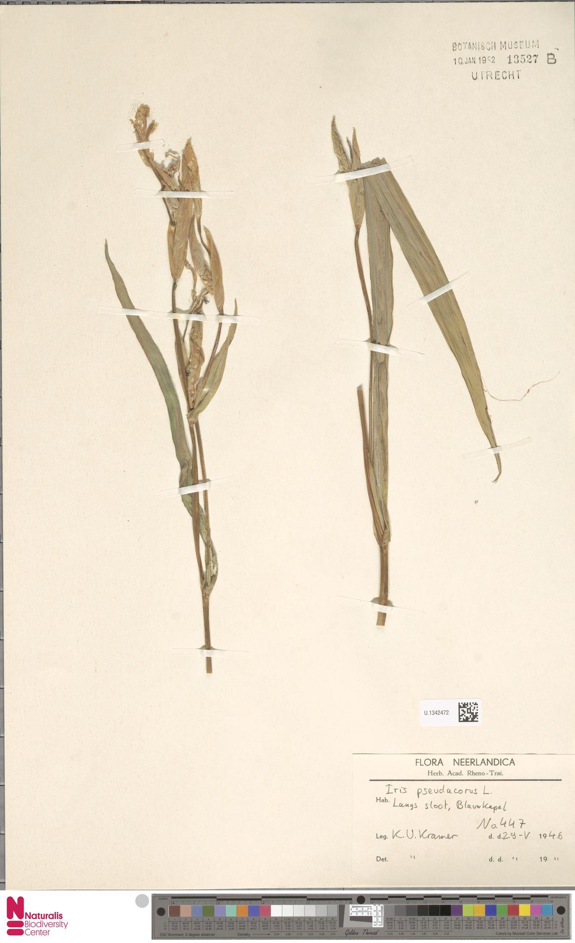 U.1342472 | Iris pseudacorus L.
