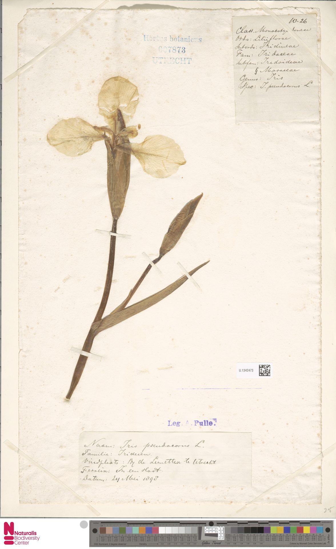 U.1342473 | Iris pseudacorus L.
