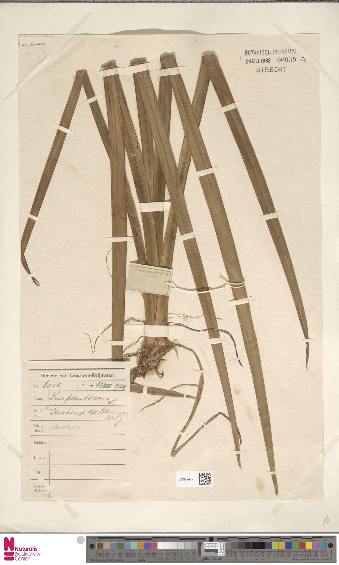 U.1342477 | Iris pseudacorus L.