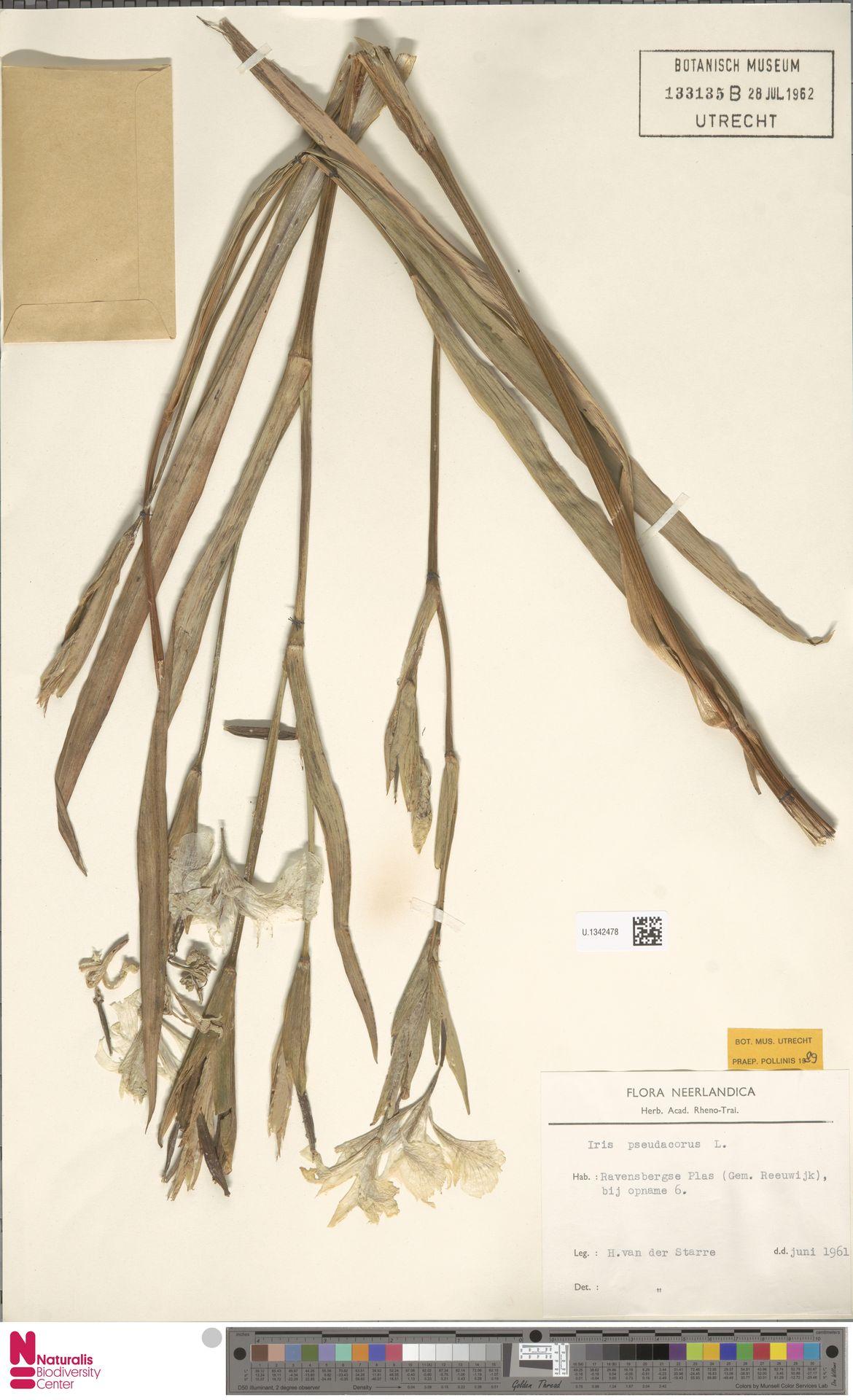 U.1342478 | Iris pseudacorus L.
