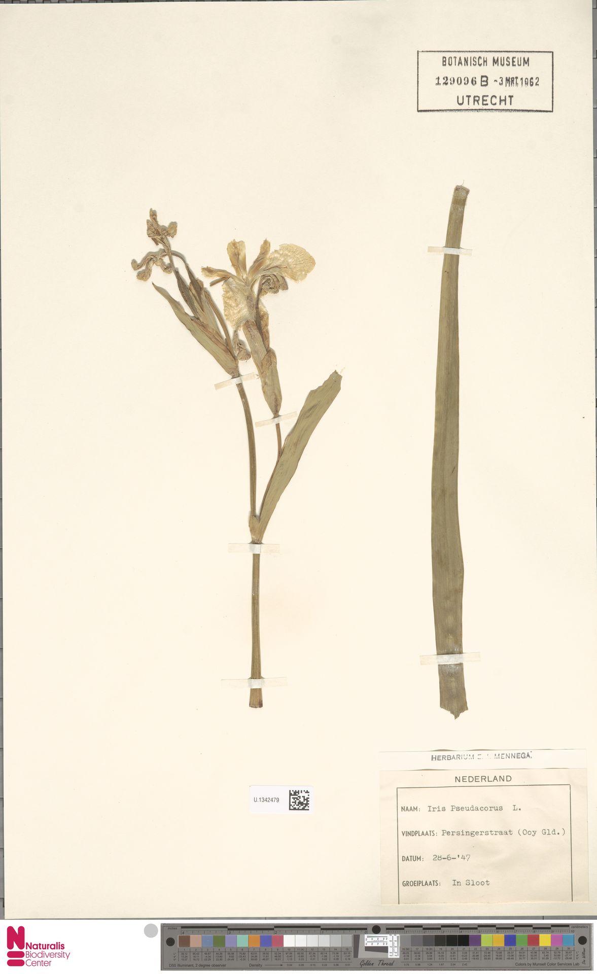 U.1342479 | Iris pseudacorus L.