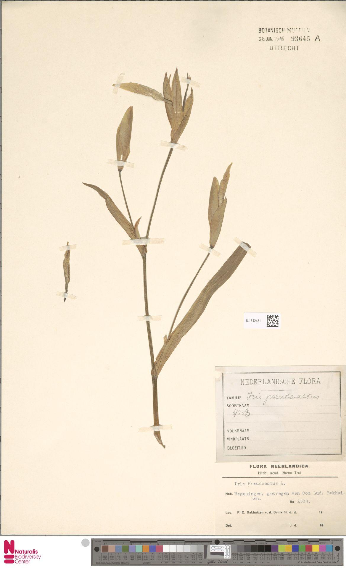 U.1342481 | Iris pseudacorus L.