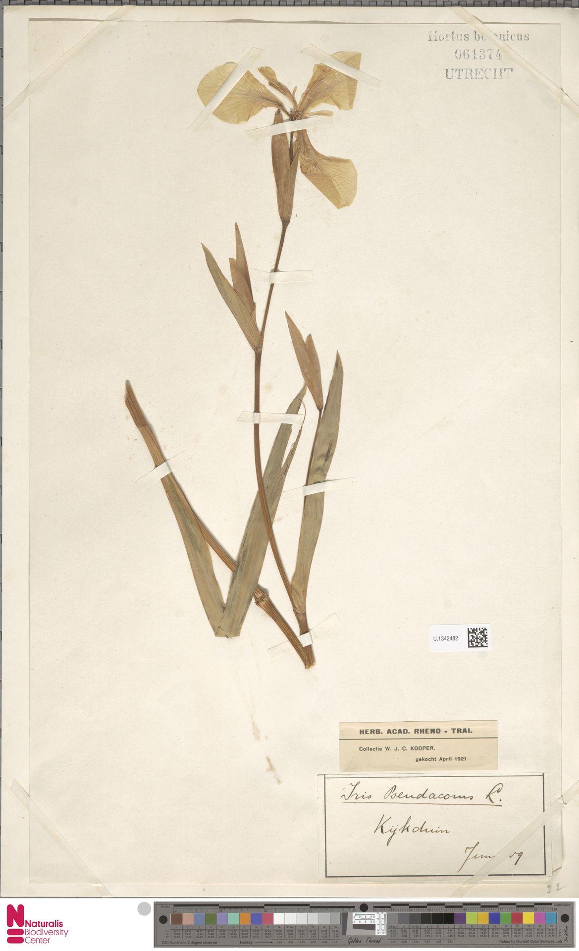 U.1342482 | Iris pseudacorus L.