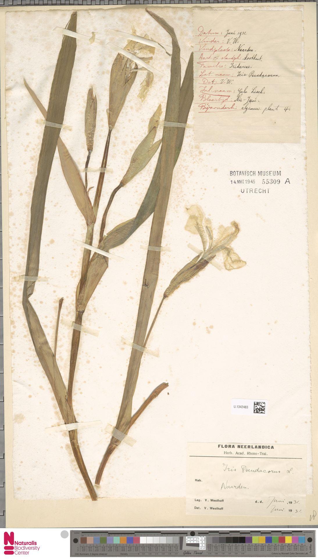 U.1342483 | Iris pseudacorus L.