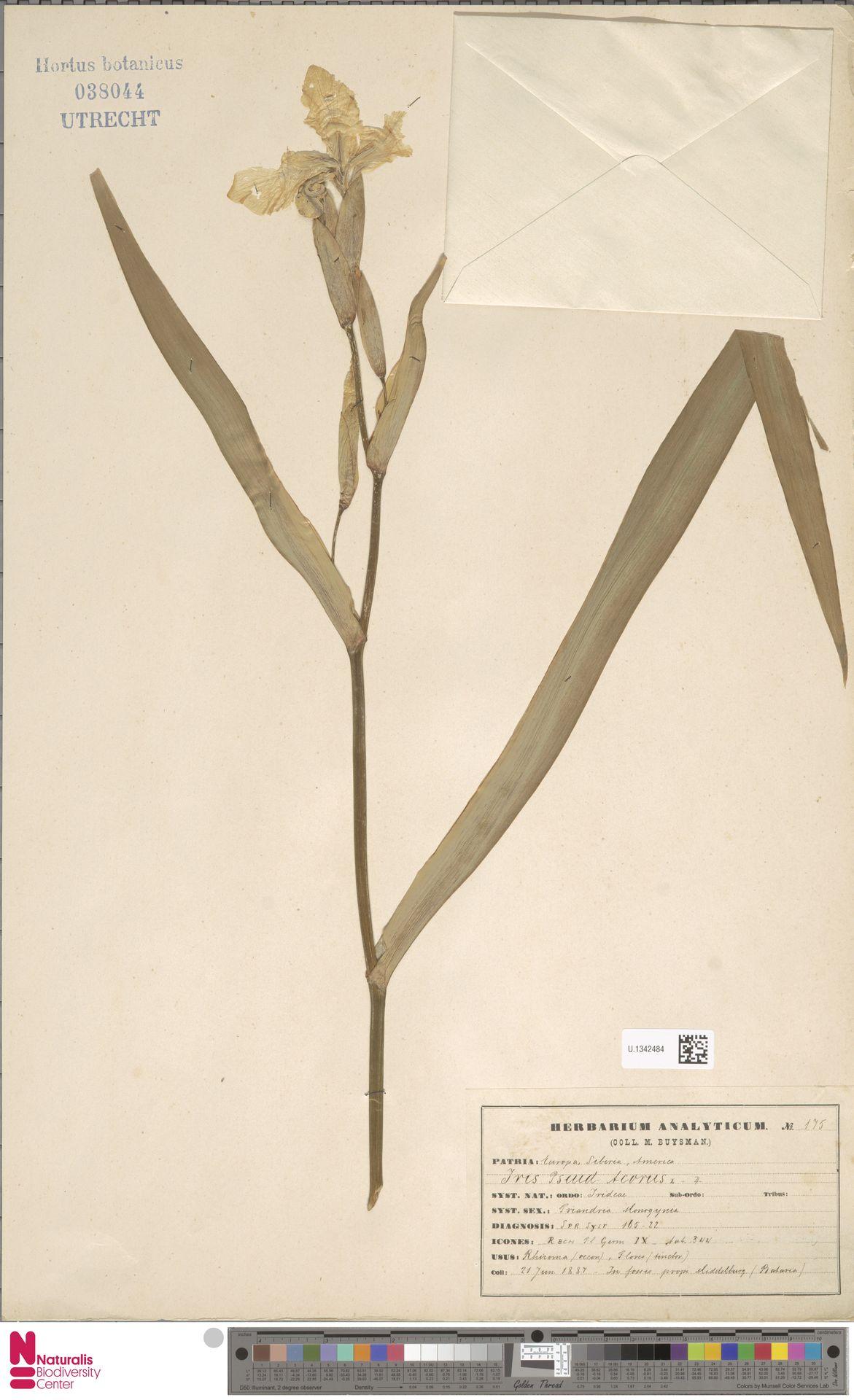 U.1342484 | Iris pseudacorus L.