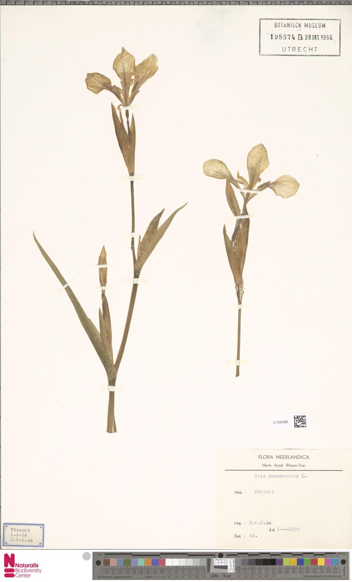 U.1342485 | Iris pseudacorus L.