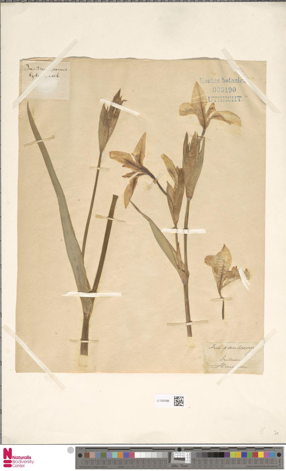 U.1342486 | Iris pseudacorus L.