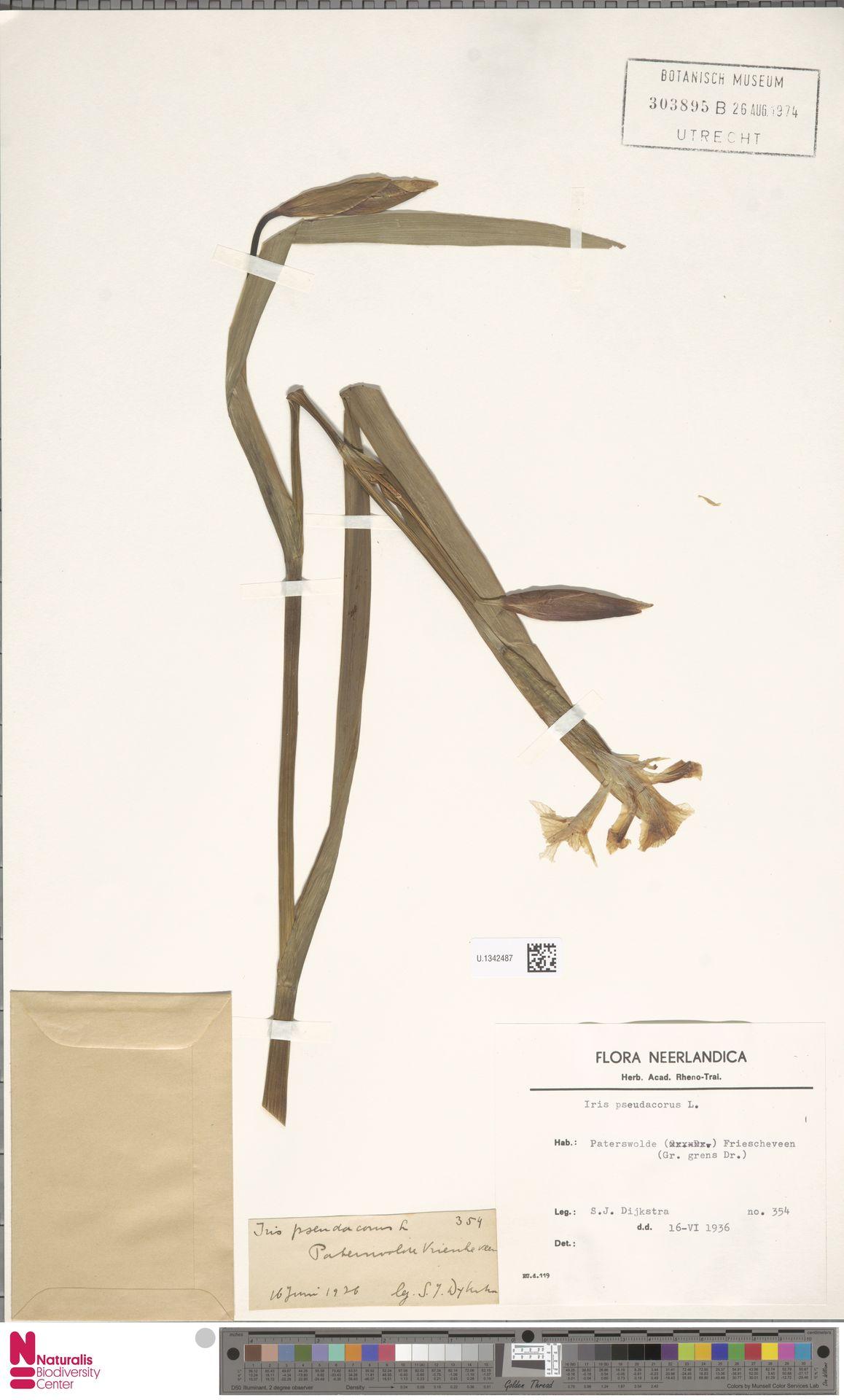 U.1342487 | Iris pseudacorus L.