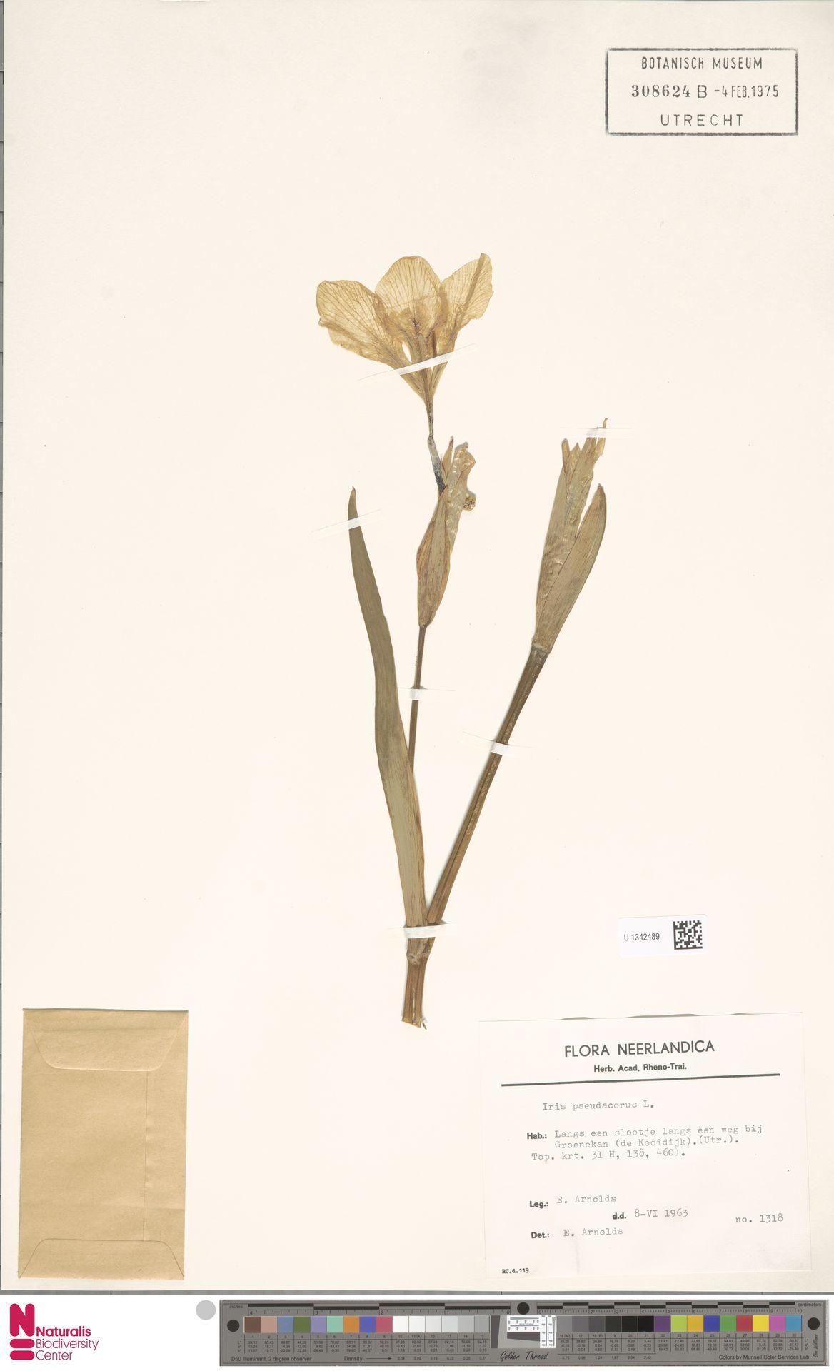U.1342489 | Iris pseudacorus L.
