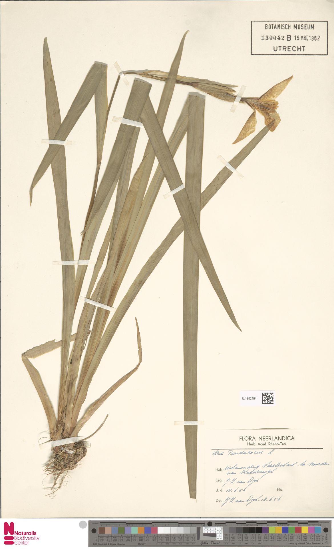U.1342494 | Iris pseudacorus L.