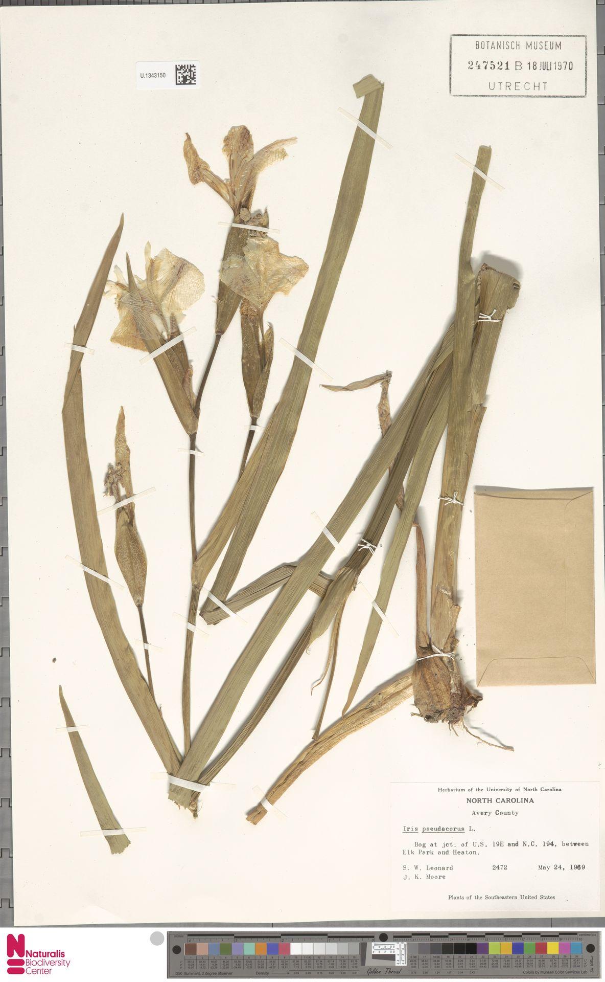 U.1343150 | Iris pseudacorus L.