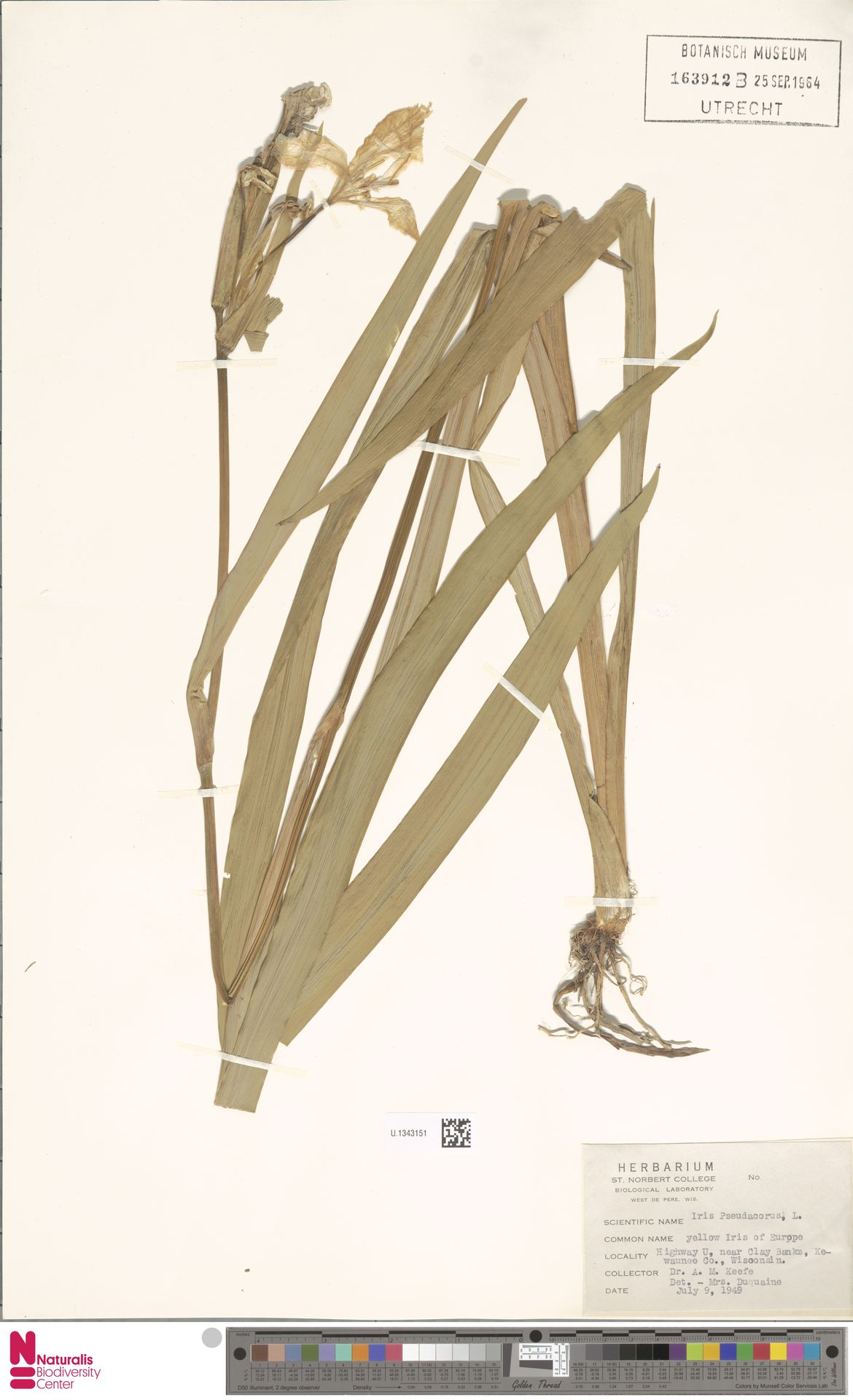 U.1343151 | Iris pseudacorus L.