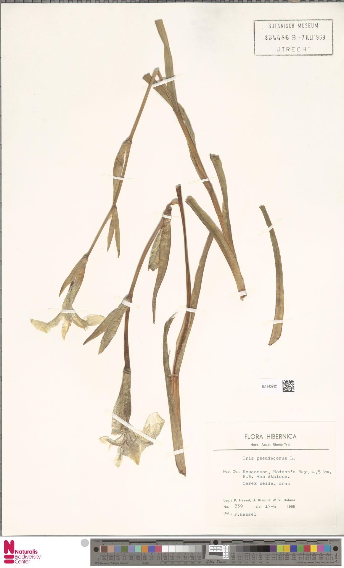U.1343282 | Iris pseudacorus L.