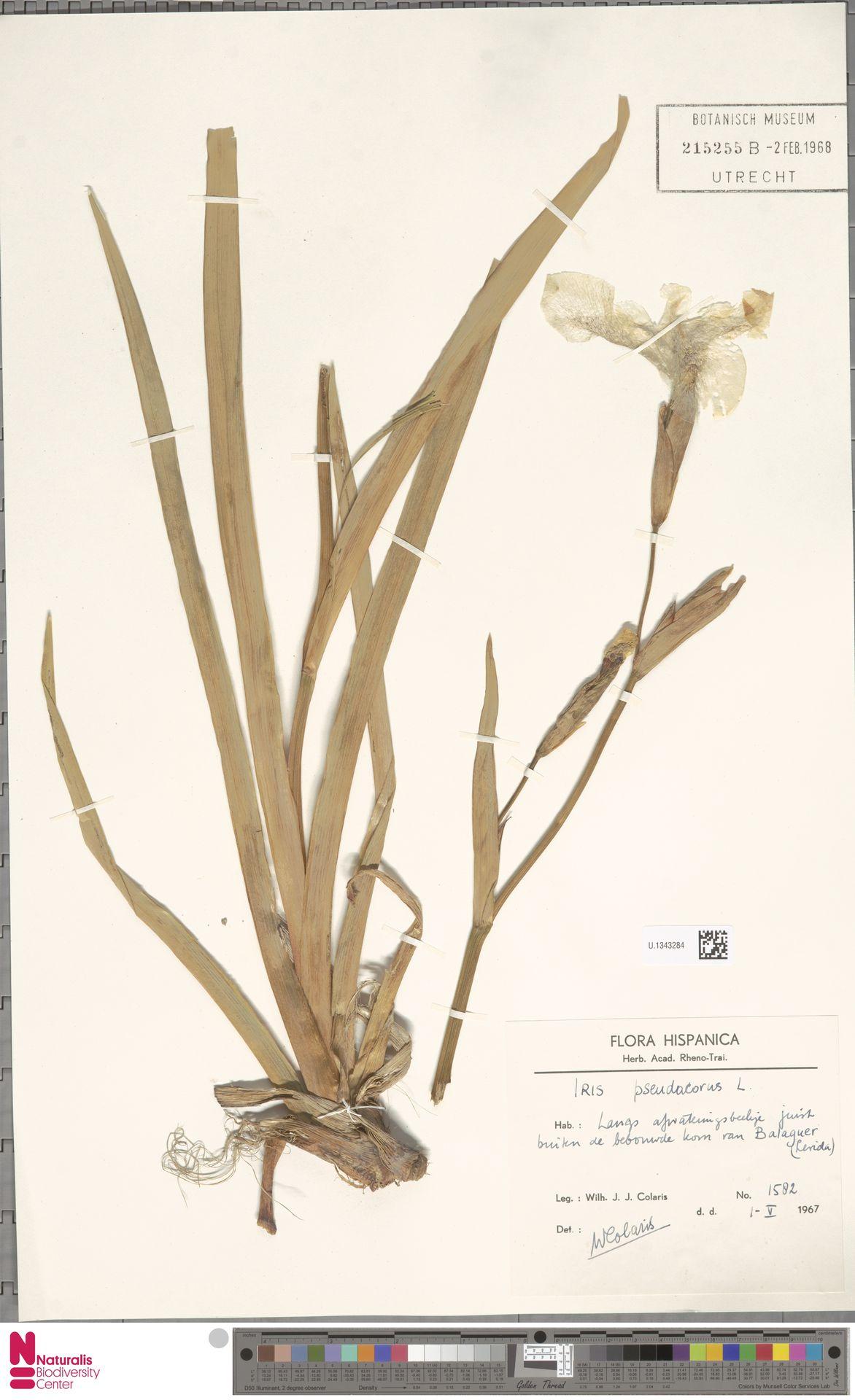 U.1343284 | Iris pseudacorus L.