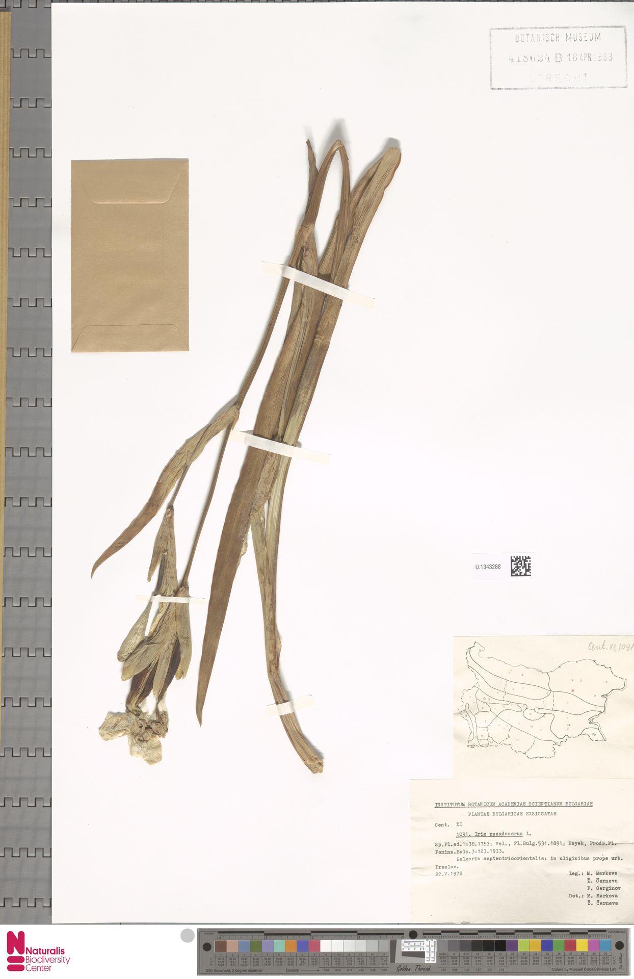 U.1343288 | Iris pseudacorus L.