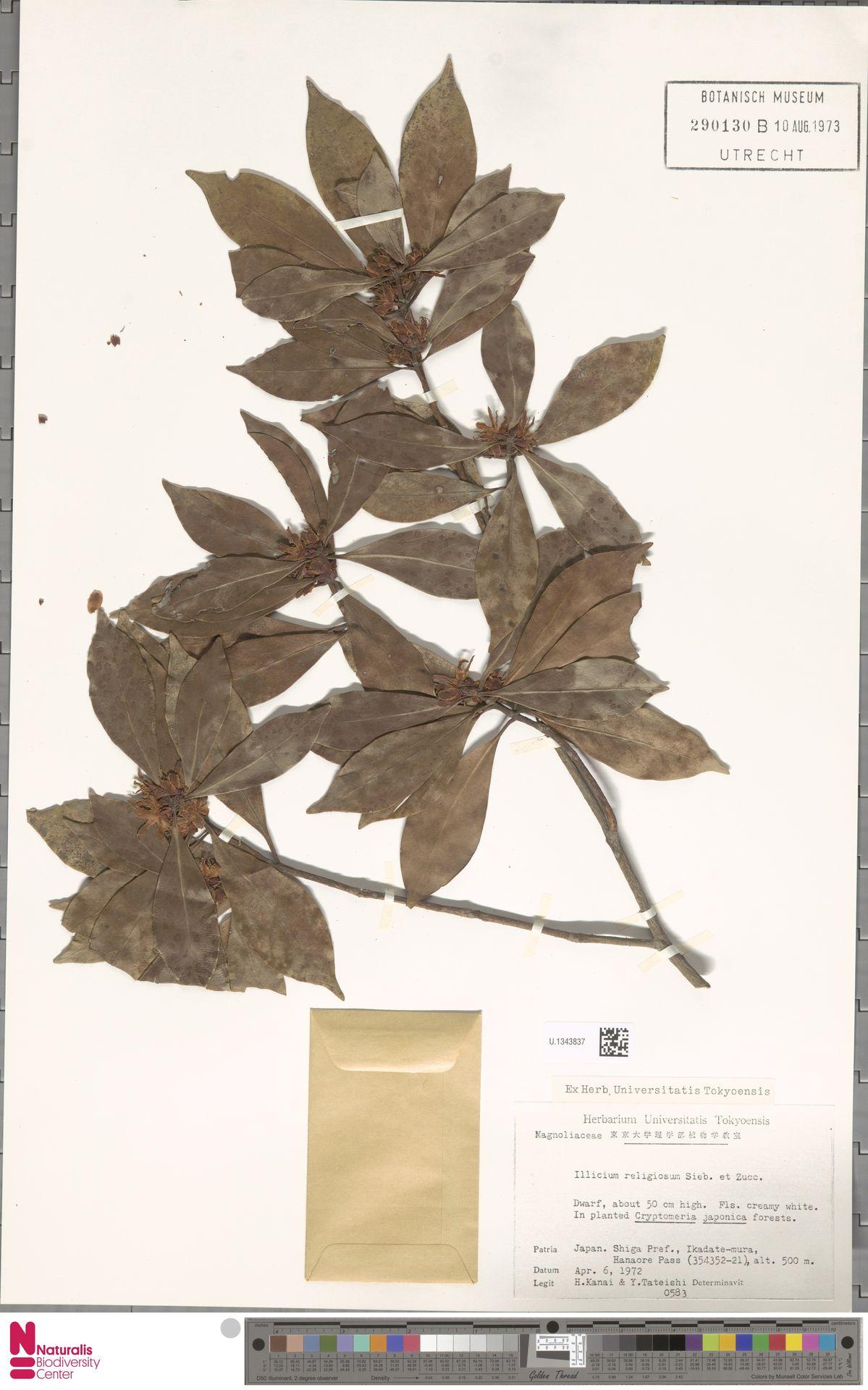 U.1343837 | Illicium anisatum L.