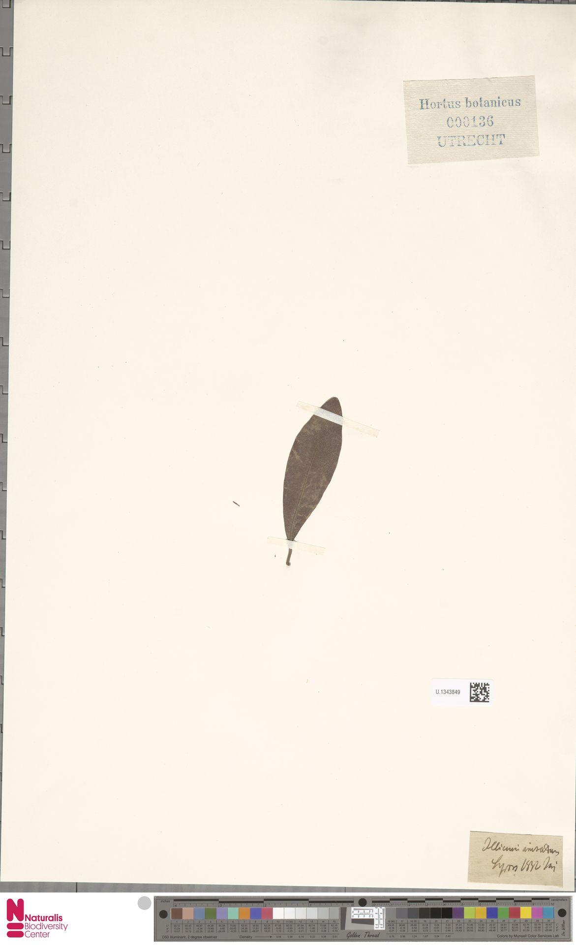 U.1343849 | Illicium anisatum L.