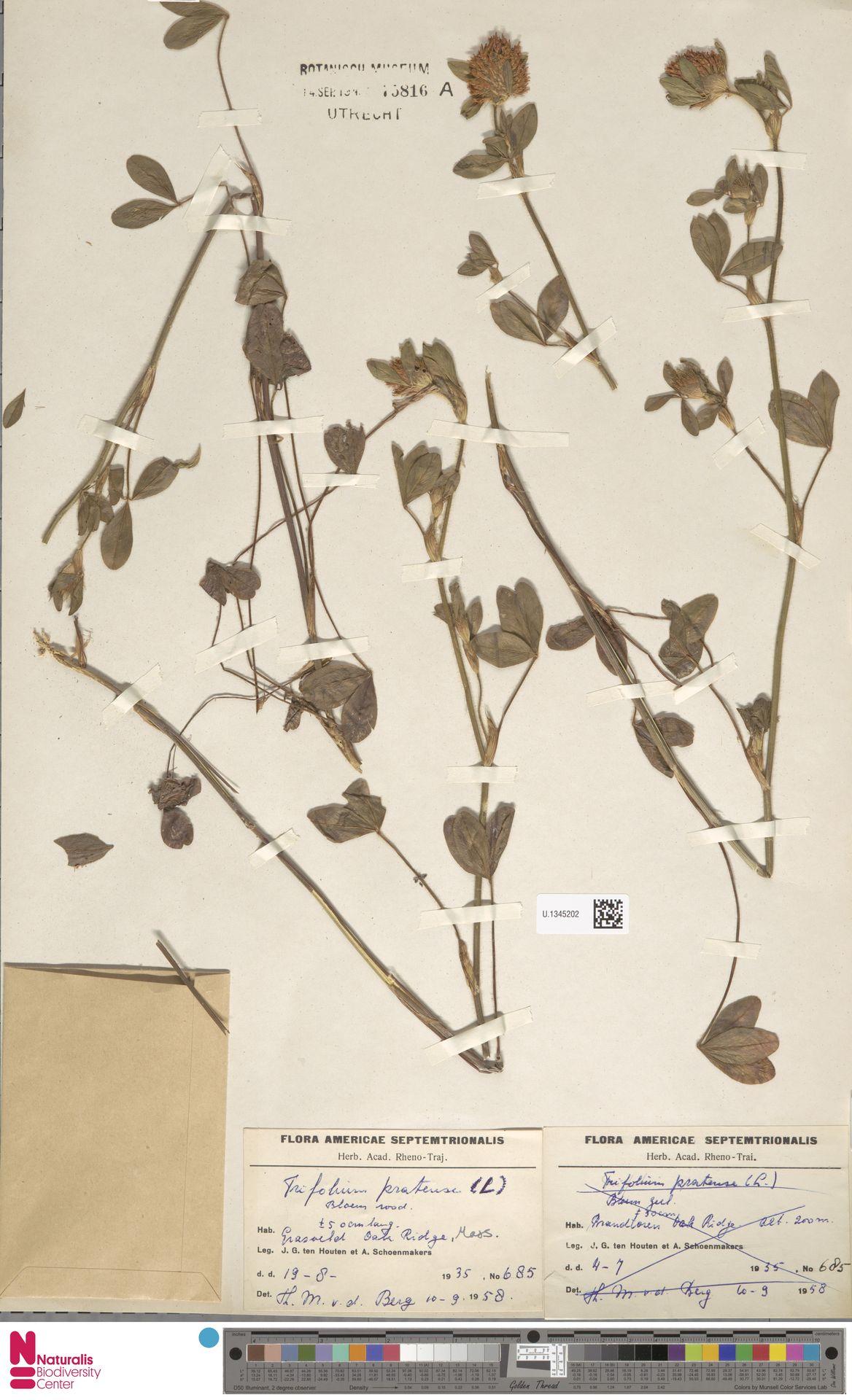 U.1345202 | Trifolium pratense L.