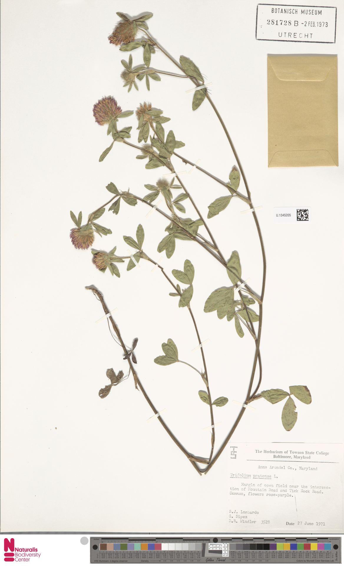 U.1345205 | Trifolium pratense L.