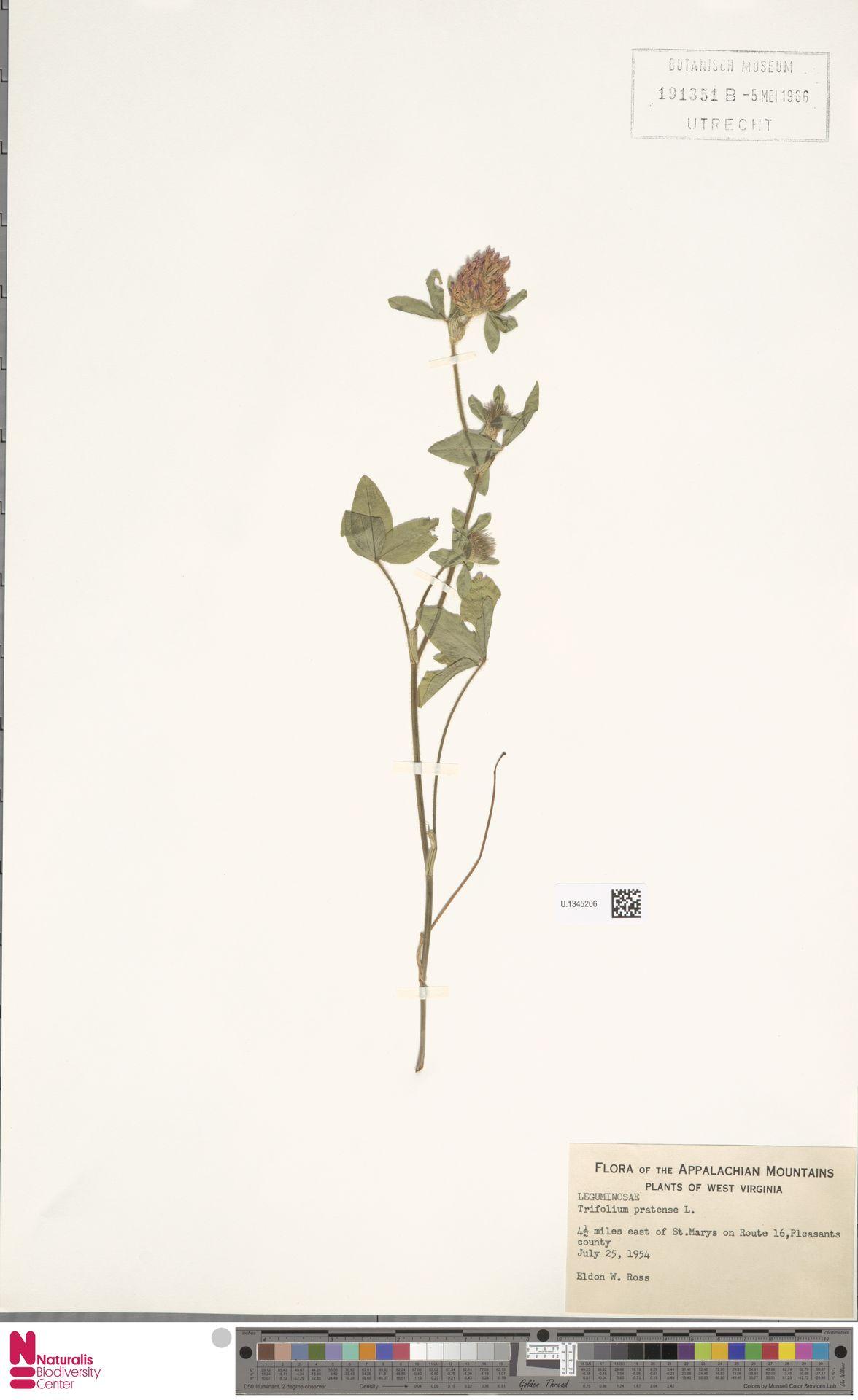 U.1345206   Trifolium pratense L.