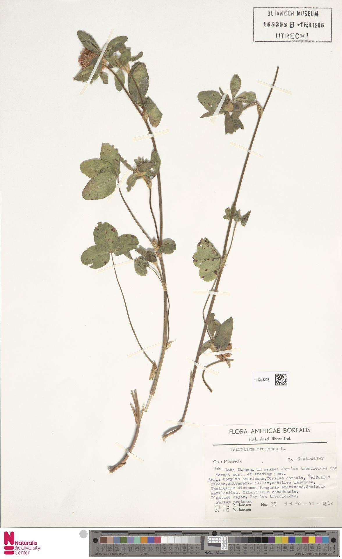 U.1345208 | Trifolium pratense L.
