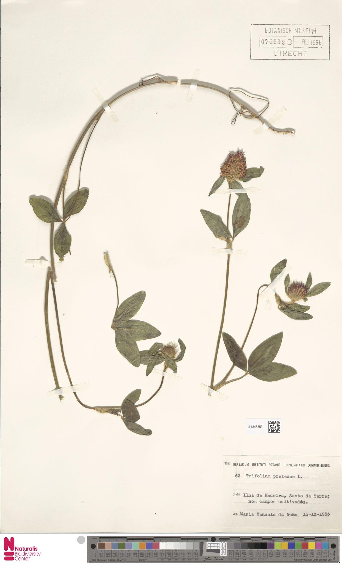 U.1345553 | Trifolium pratense L.