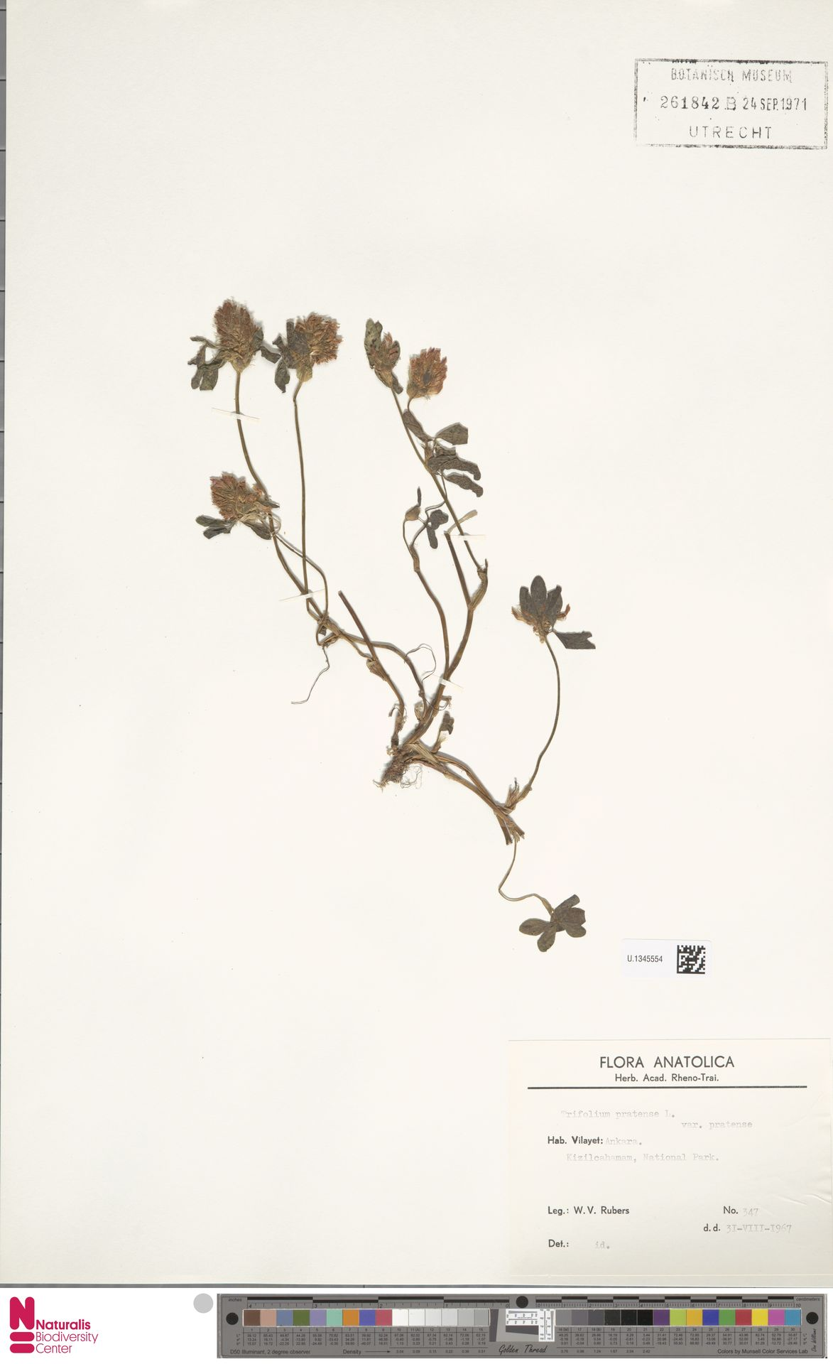 U.1345554   Trifolium pratense L.