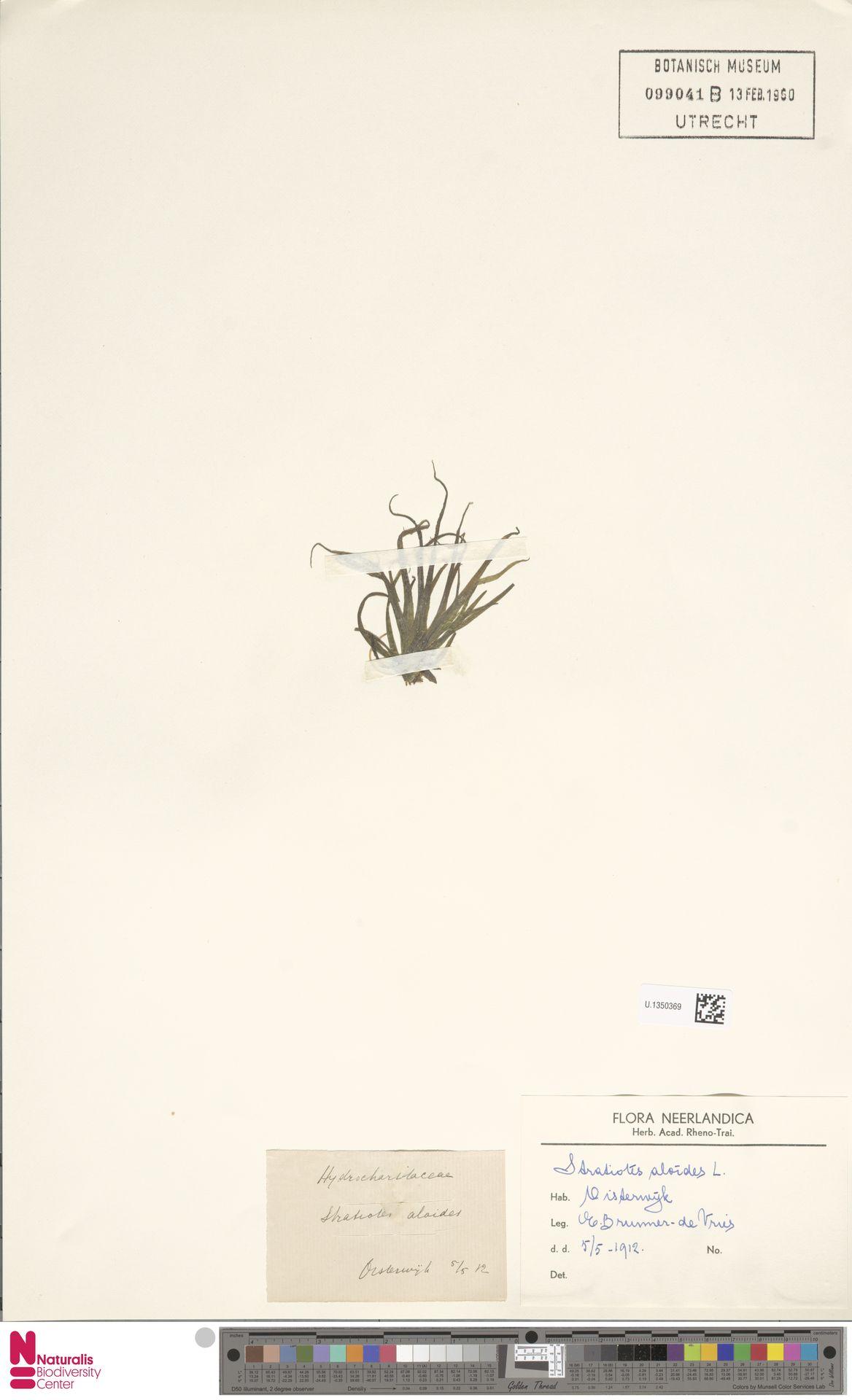 U.1350369 | Stratiotes aloides L.