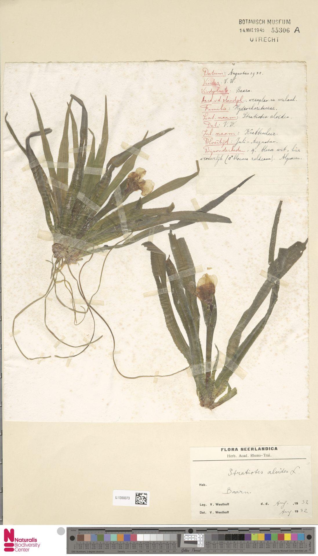 U.1350373 | Stratiotes aloides L.