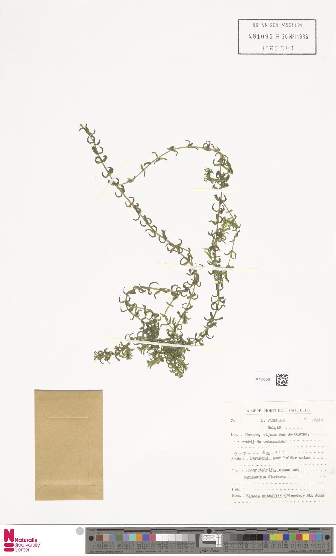 U.1350549 | Elodea nuttallii (Planch.) H.St.John