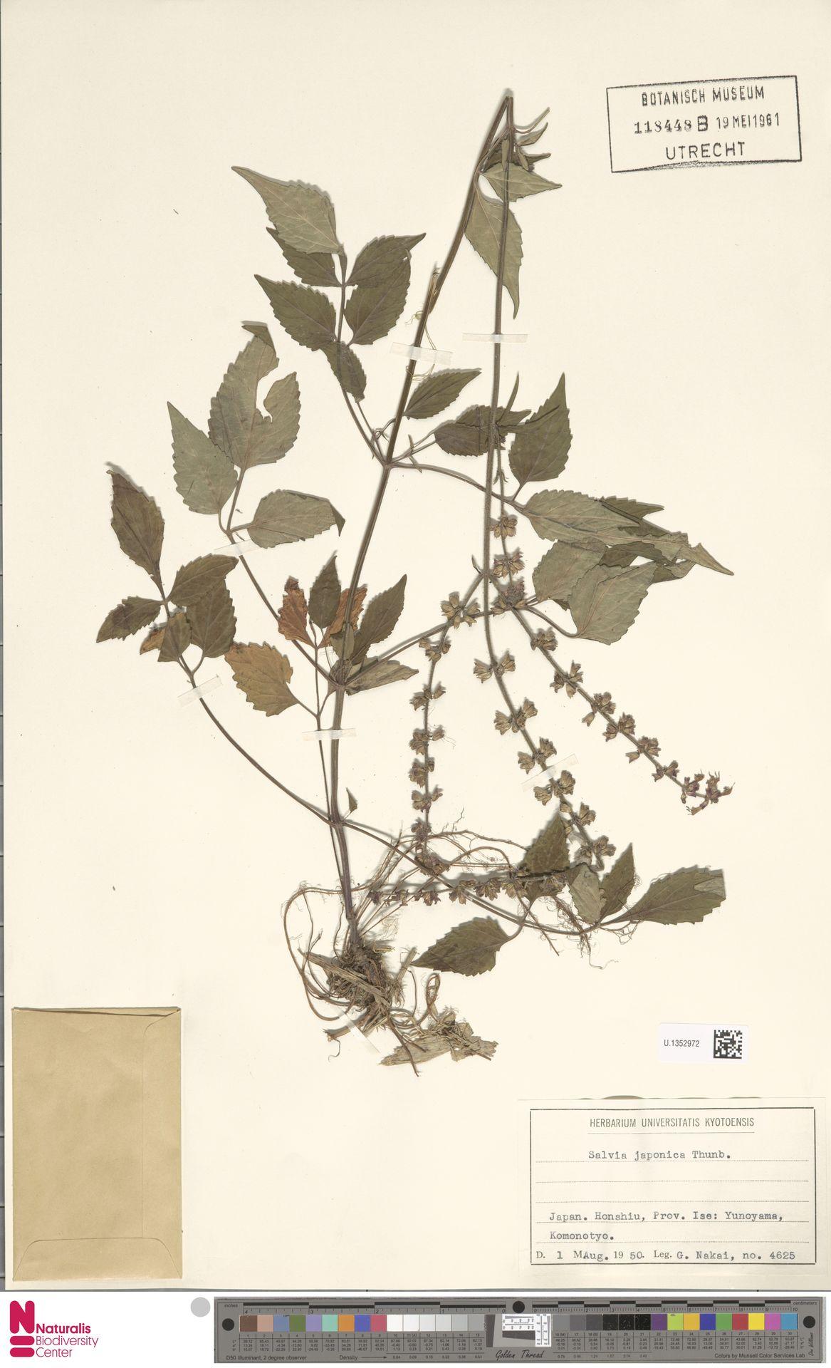 U.1352972   Salvia japonica Thunb.