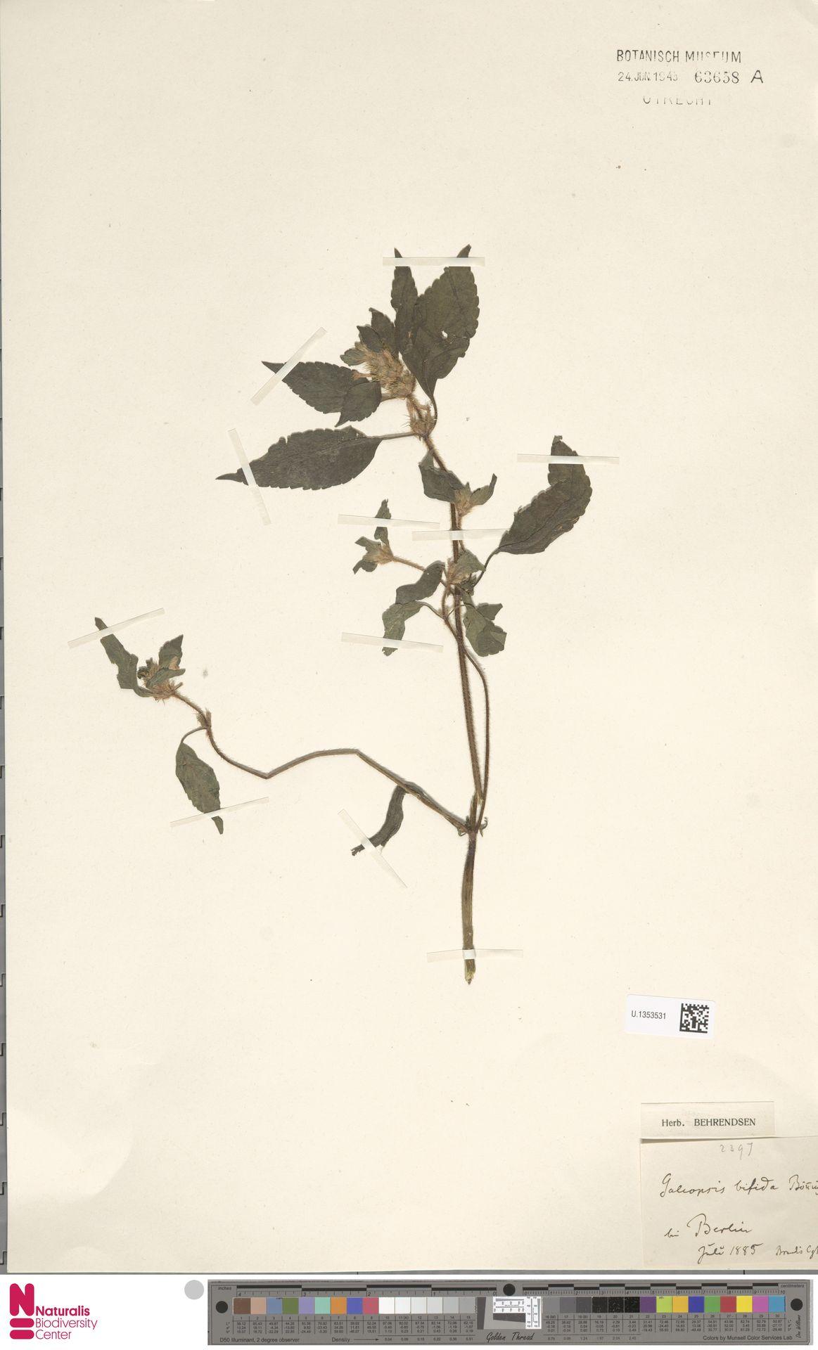 U.1353531 | Galeopsis bifida Boenn.