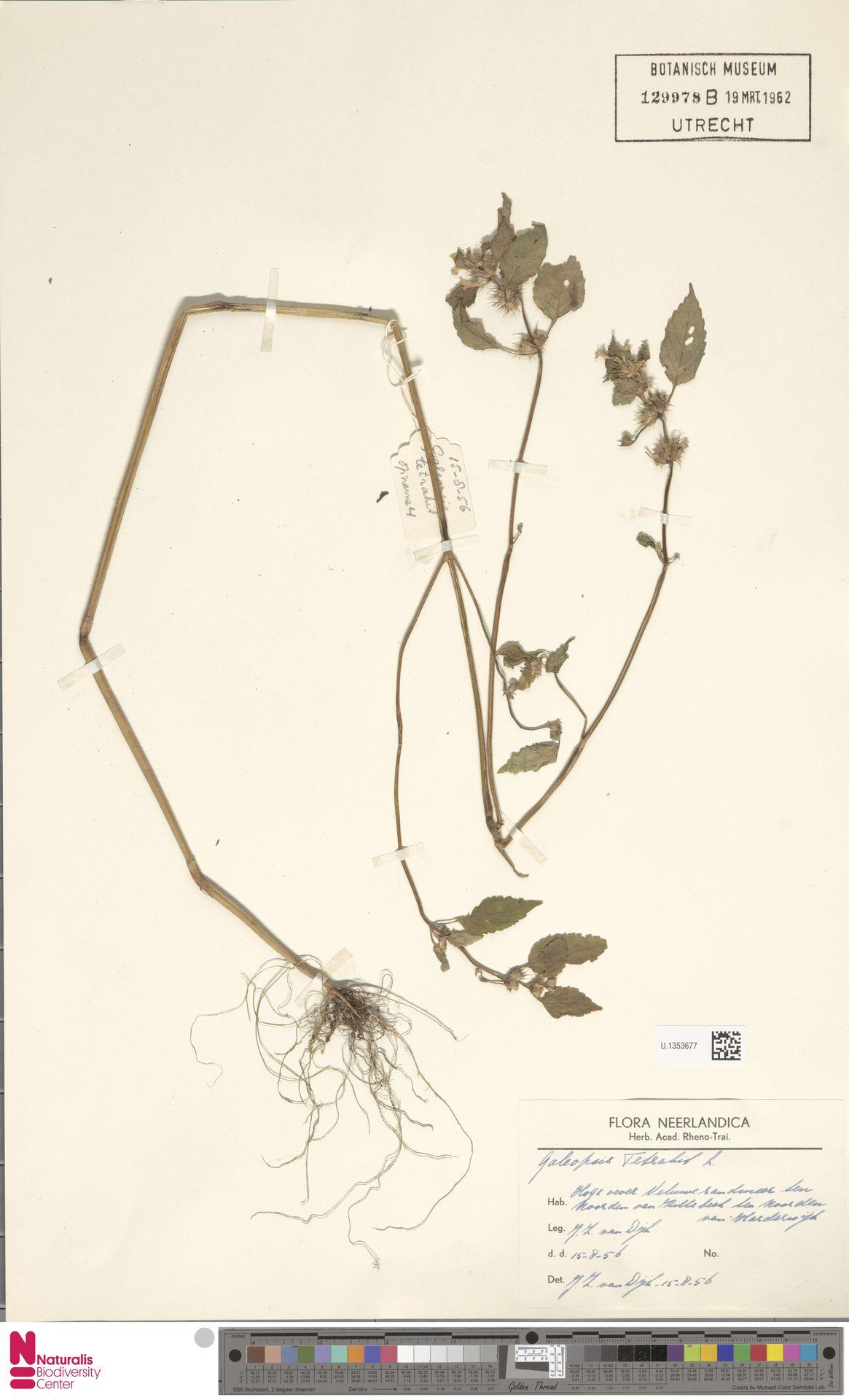 U.1353677 | Galeopsis tetrahit L.