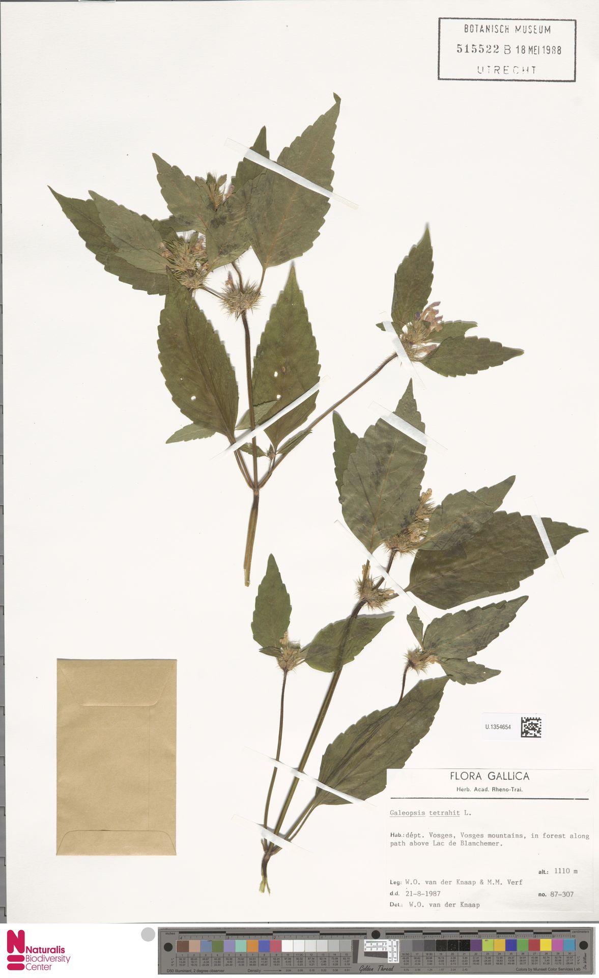 U.1354654 | Galeopsis tetrahit L.