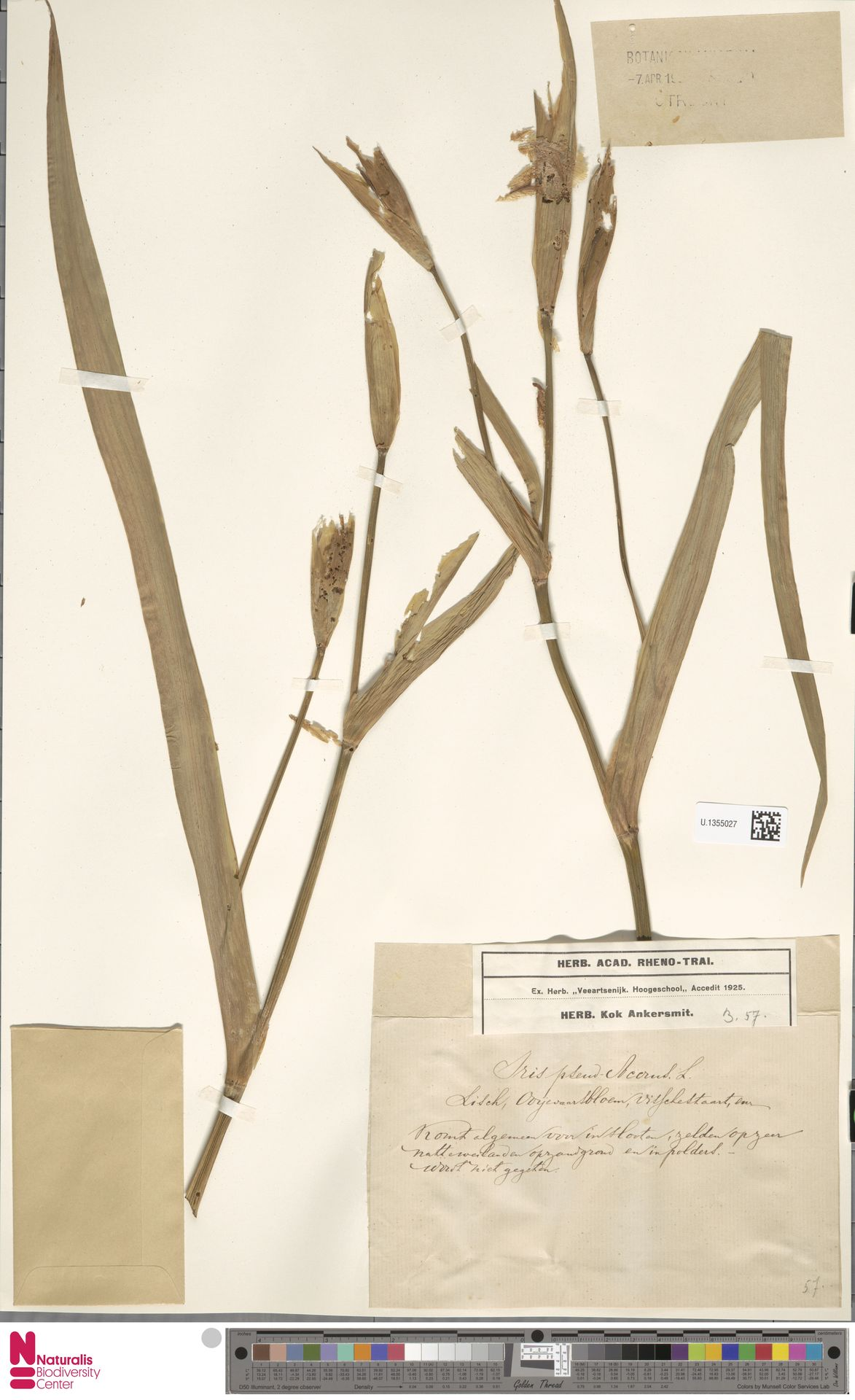 U.1355027 | Iris pseudacorus L.