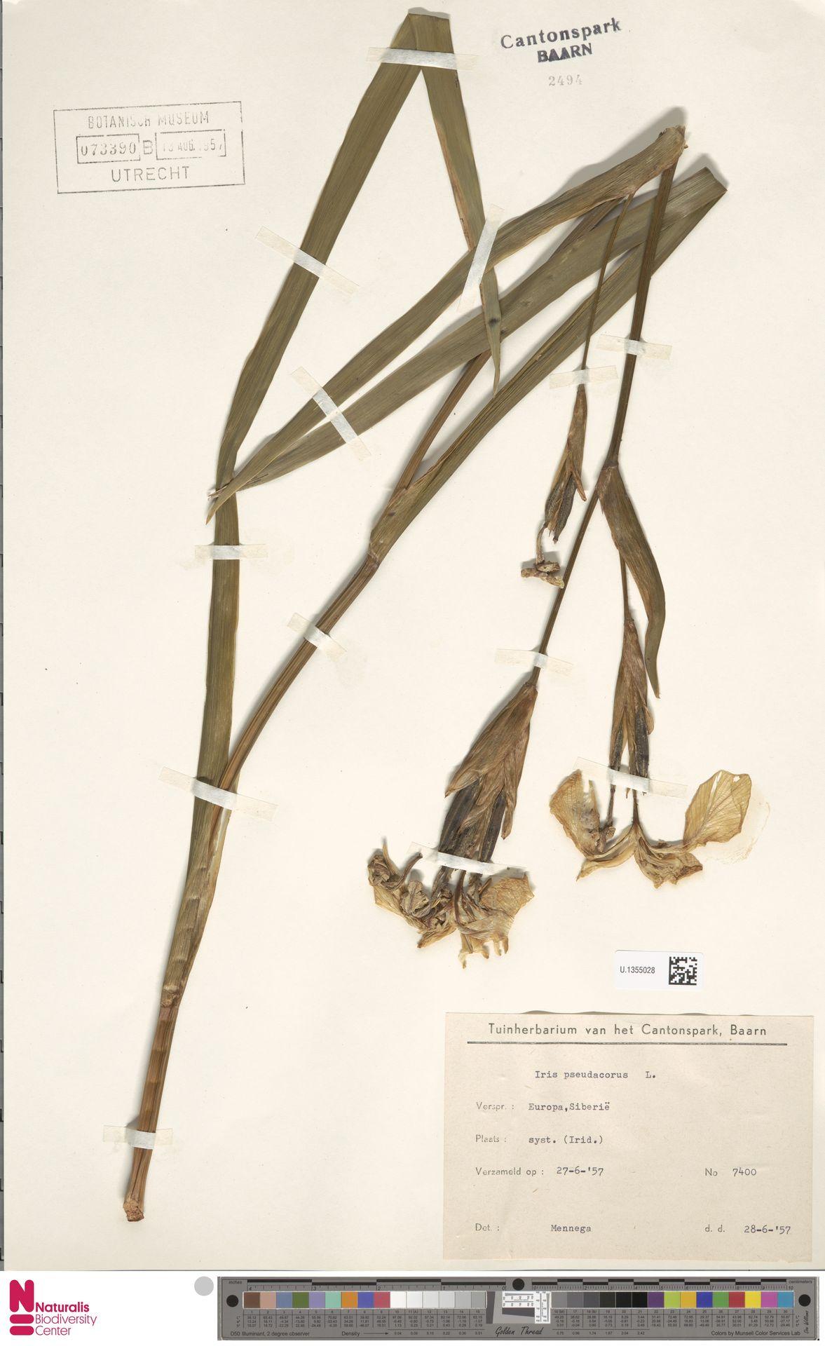 U.1355028 | Iris pseudacorus L.