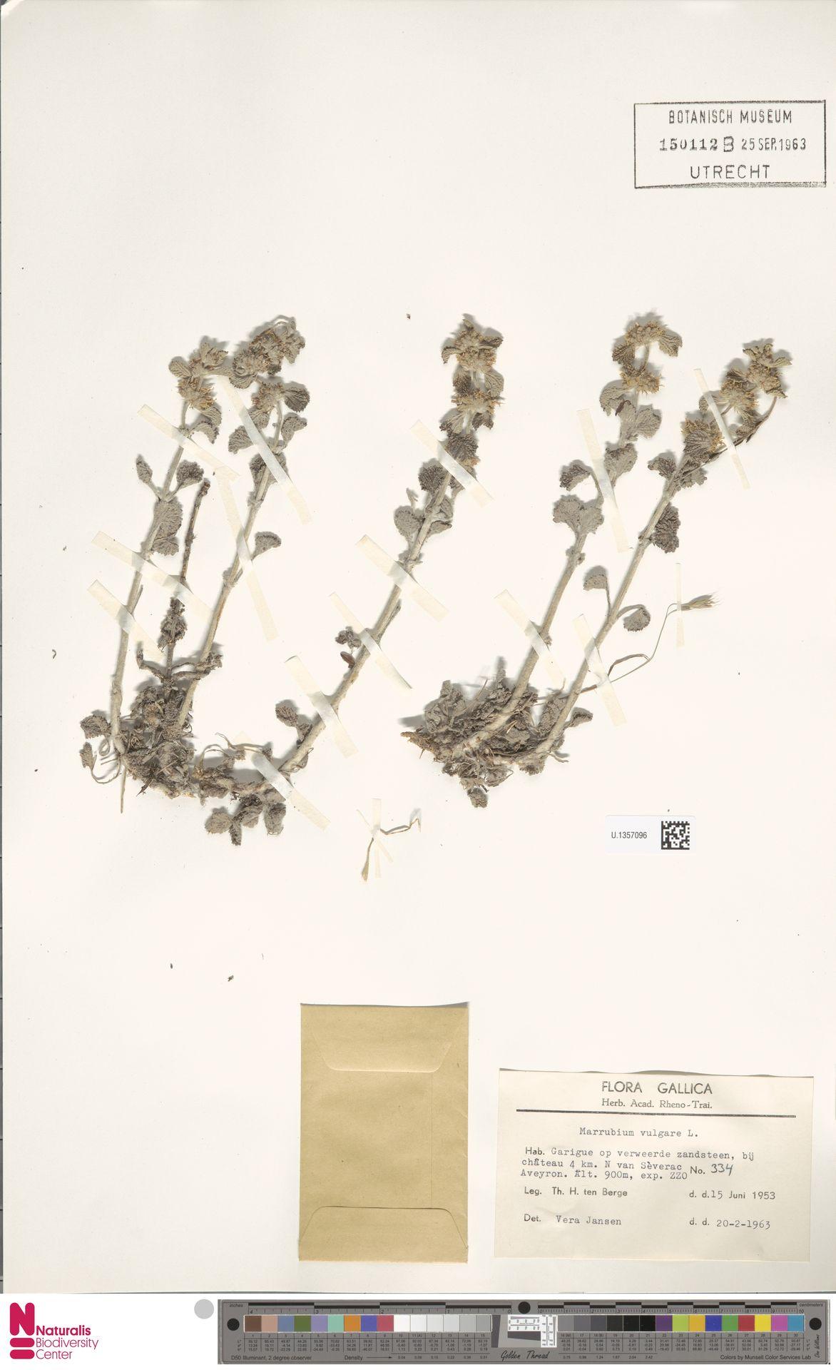 U.1357096 | Marrubium vulgare L.