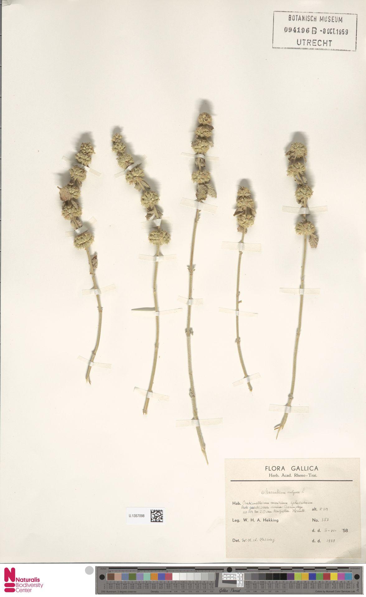 U.1357098 | Marrubium vulgare L.