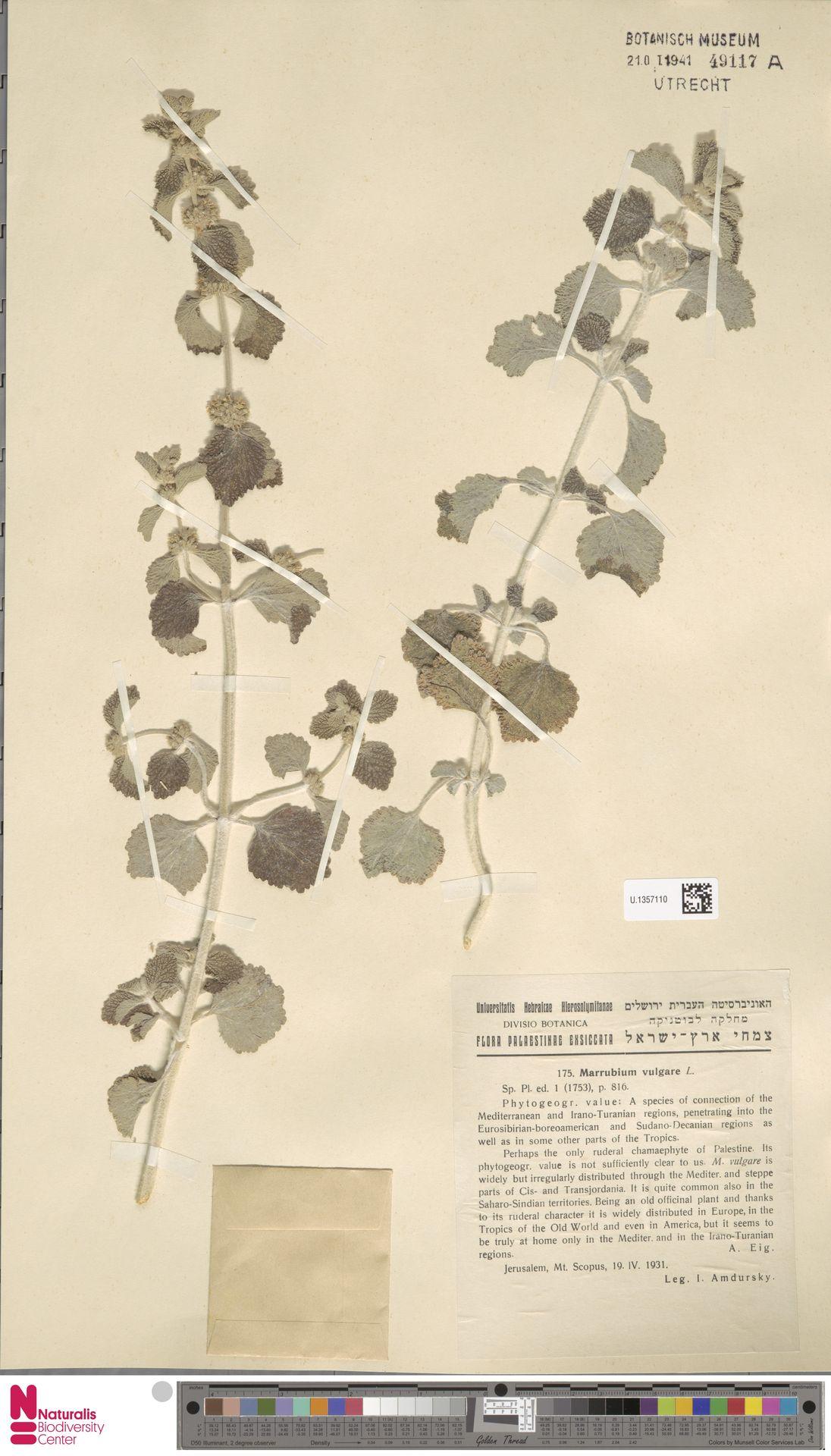 U.1357110 | Marrubium vulgare L.