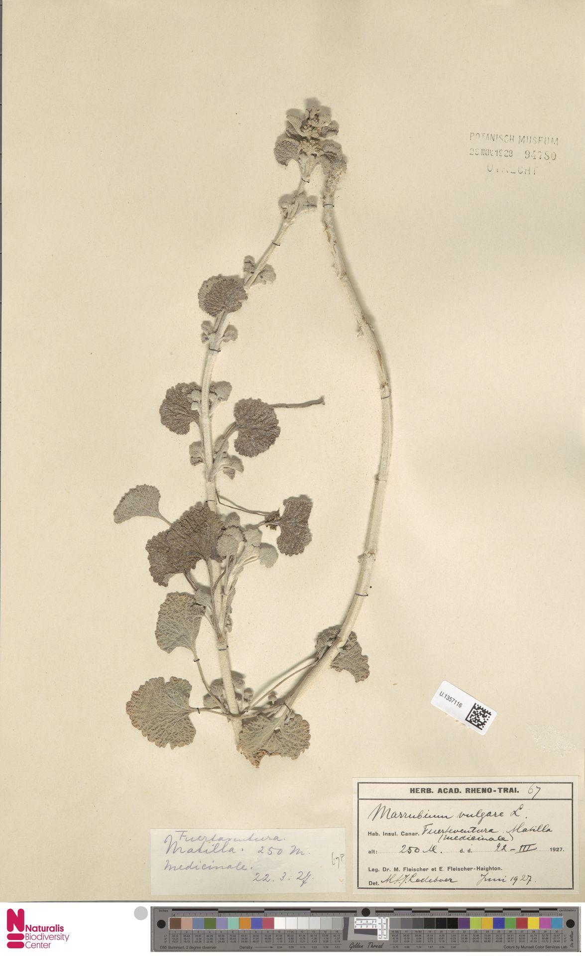 U.1357116   Marrubium vulgare L.