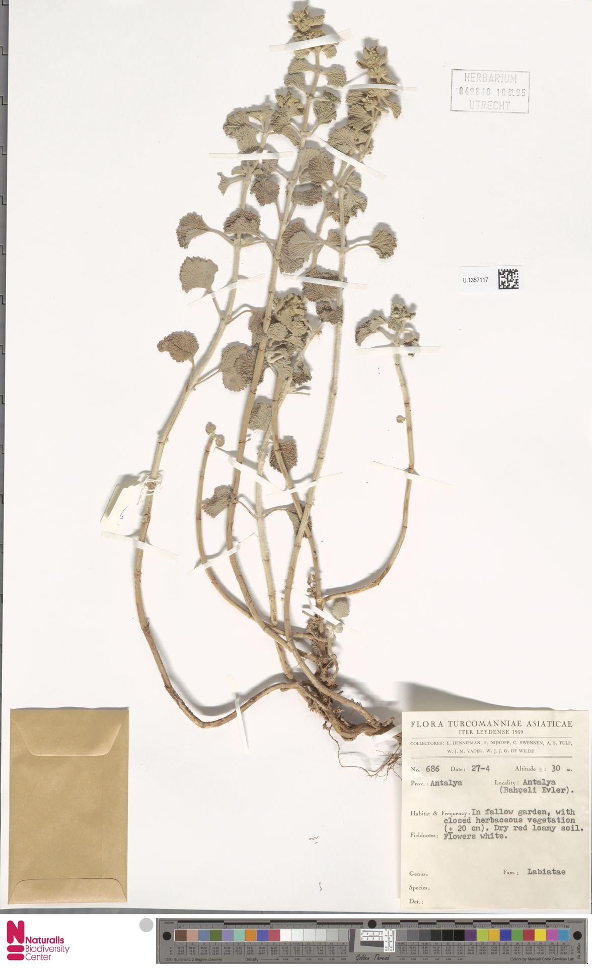 U.1357117 | Marrubium vulgare L.