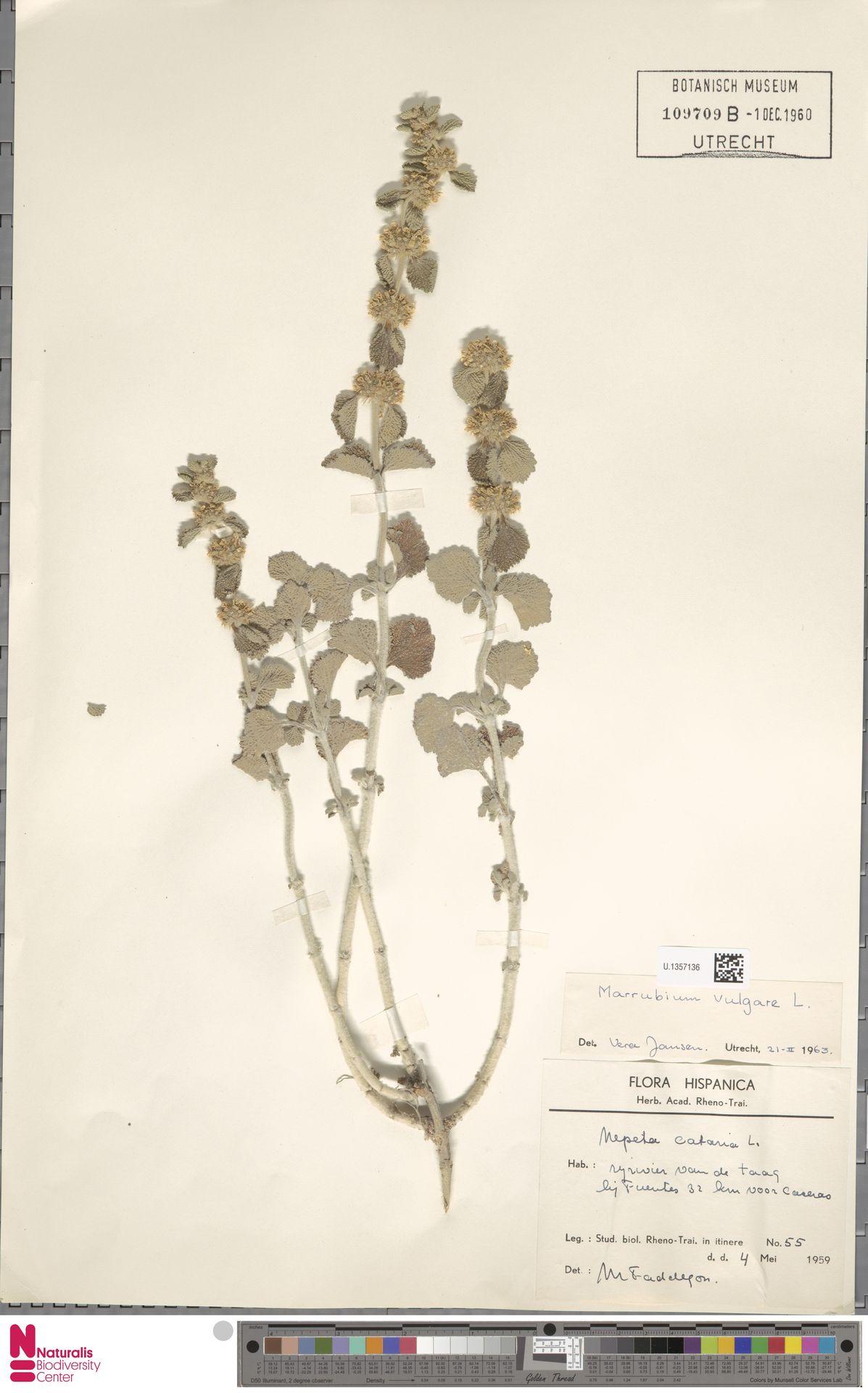 U.1357136 | Marrubium vulgare L.