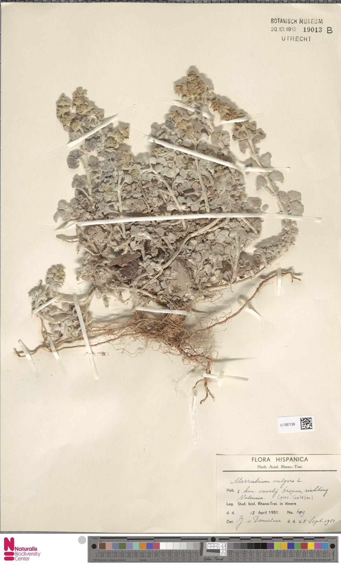 U.1357139 | Marrubium vulgare L.