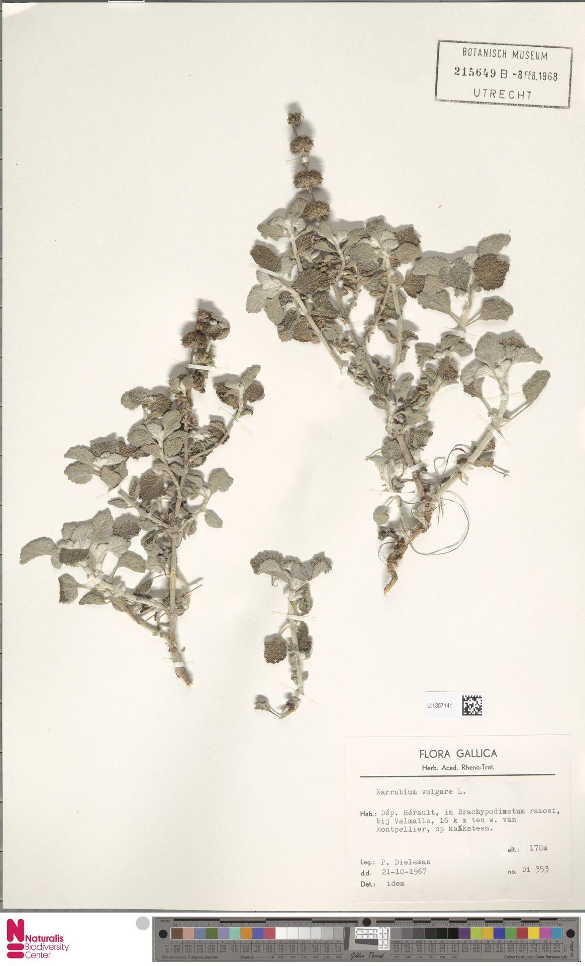 U.1357141 | Marrubium vulgare L.