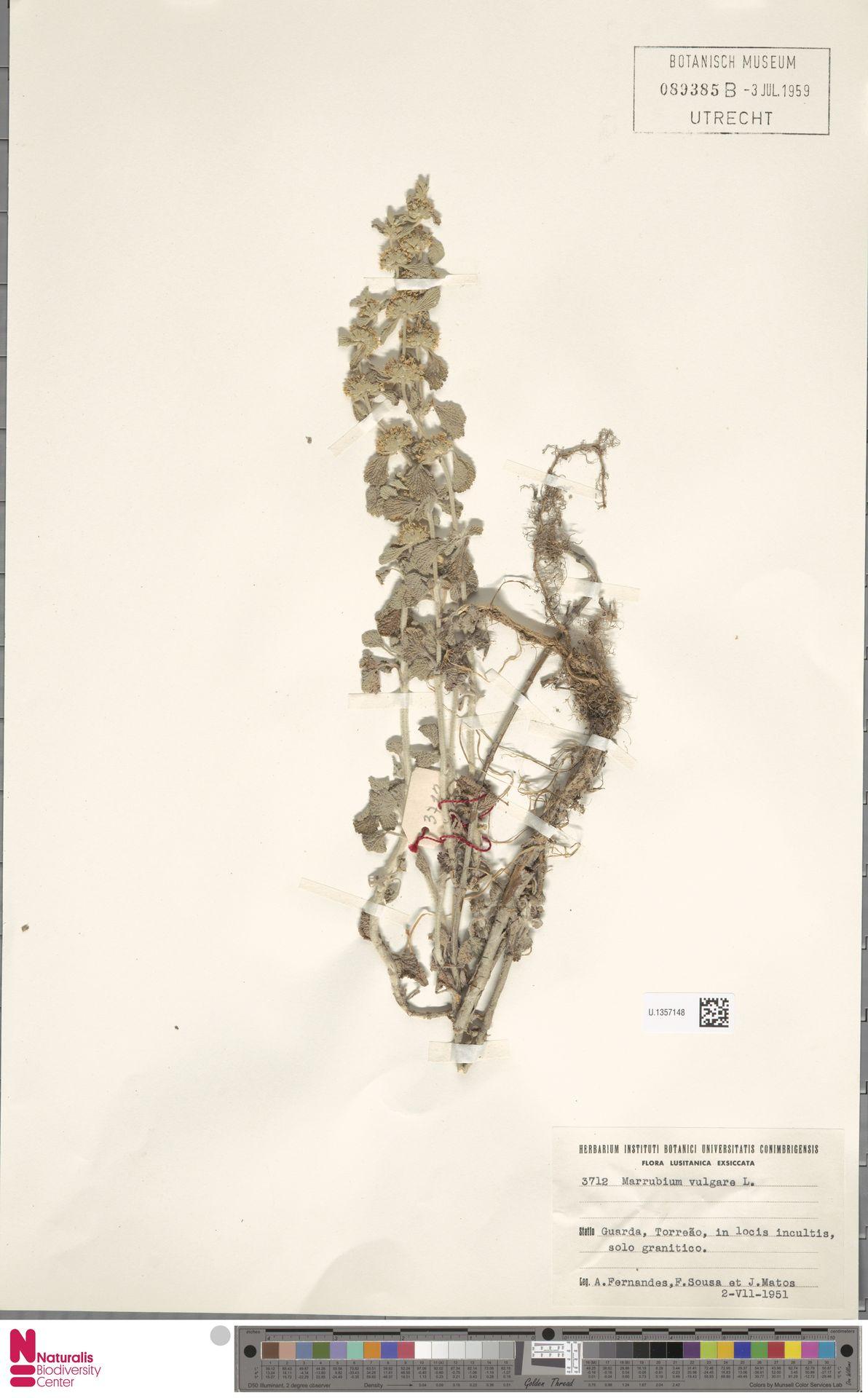 U.1357148 | Marrubium vulgare L.