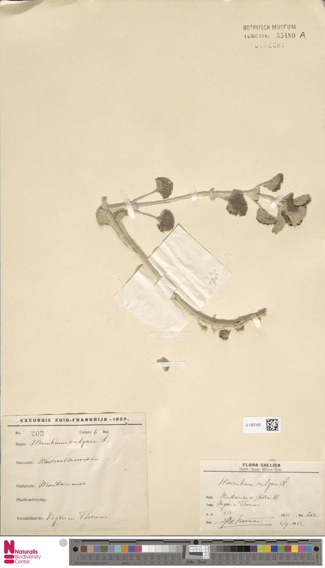 U.1357152   Marrubium vulgare L.