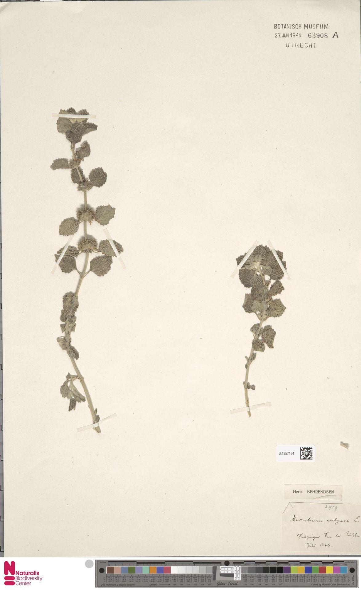 U.1357154 | Marrubium vulgare L.